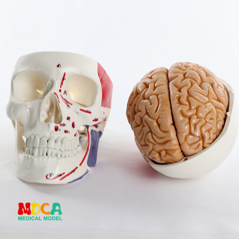 Head and head of medical human muscles 1:1 brain model anatomy MTG011