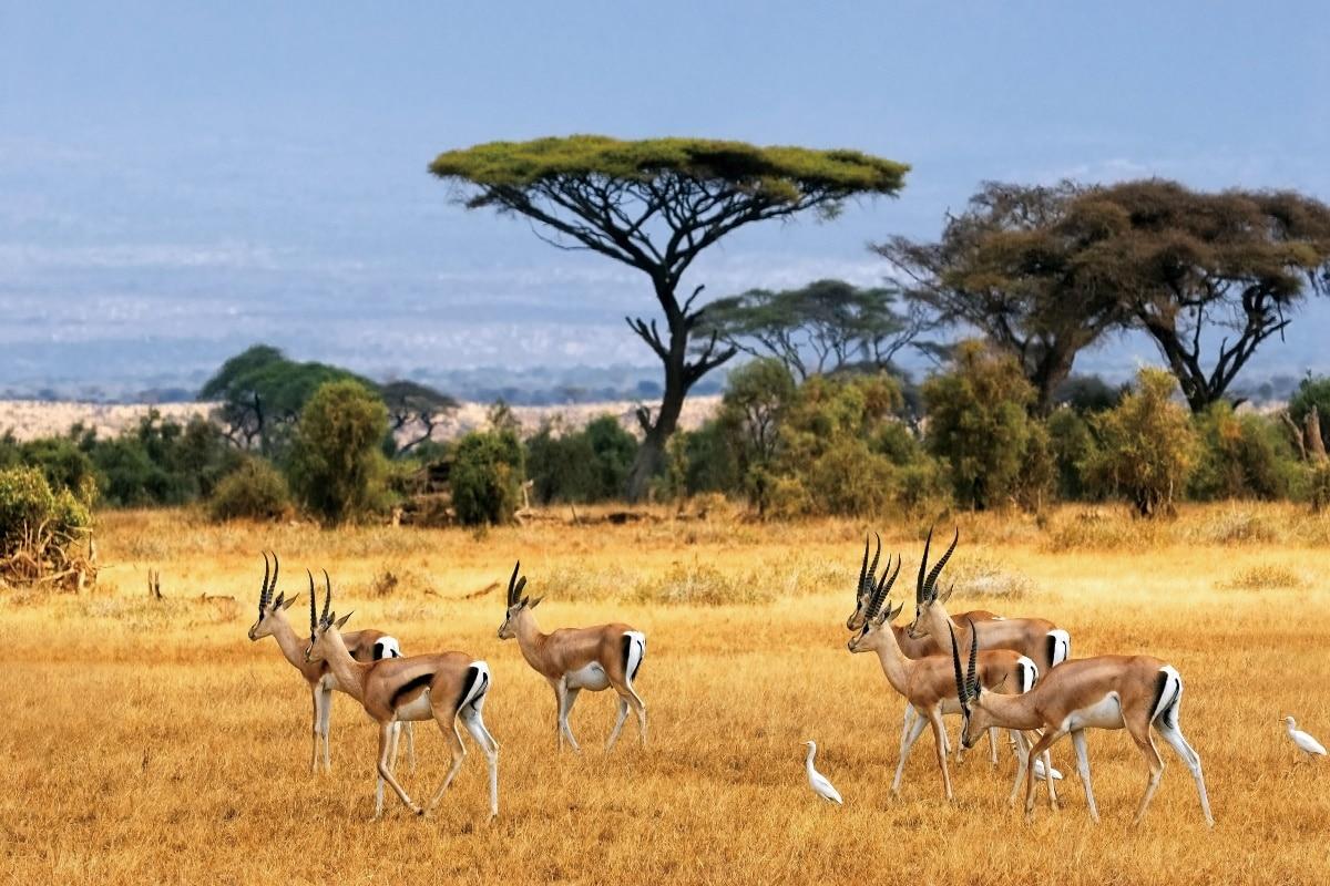 Antelopes Savannah Wild Life Nature Animal Landscape Kb342
