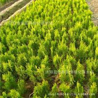 Sa Jinbo tree bonsai freshly collected plant heads Huang Bo Huang Jinbo arborvitae plant real shot 200g / Pack