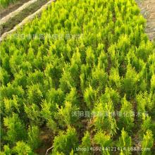 Sa Jinbo tree bonsai freshly collected plant heads Huang Bo Huang Jinbo arborvitae plant real shot 200g / Pack