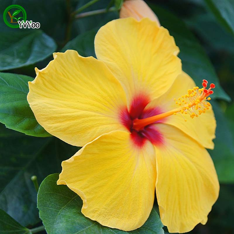Compare Prices on Hibiscus Yellow- Online Shopping/Buy Low ...