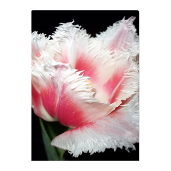 New varieties 120pcs red with white edges and fluffy petals tulip new varieties 120pcs red with white edges and fluffy petals tulip flowers armenia upscale seed plants mightylinksfo