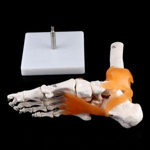 Image 5 - 1: 1 Scheletro Umano Modello Umano Giunto Medico Anatomia Legamenti Della Caviglia Anatomicamente Insegnamento Delle Risorse Strumento