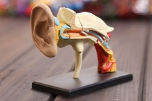 4D master Ear structure anatomical ear model assembled Human Anatomy dimensional  free shipping цена 2017