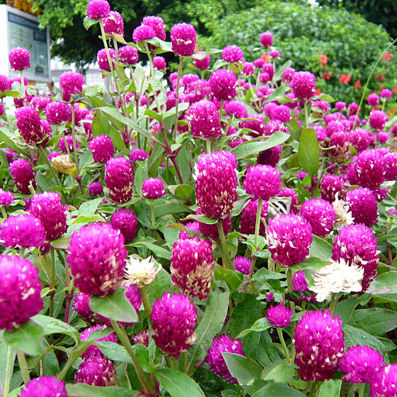 10 seeds pack gomphrena globosa seeds rare beautiful for Beautiful flowers to plant in your garden