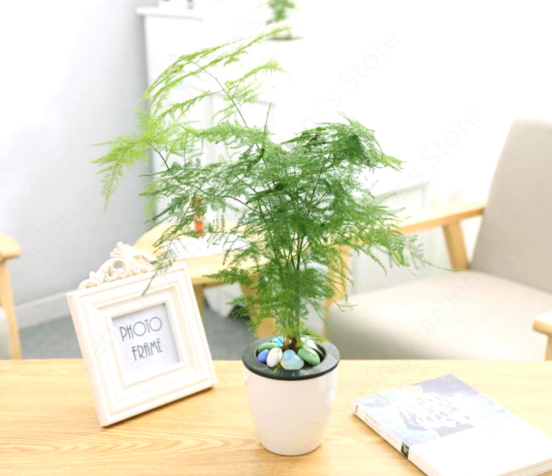 Indoor Evergreen Trees: Free Shipping 20Pcs Asparagus Fern Tree Seeds Evergreen
