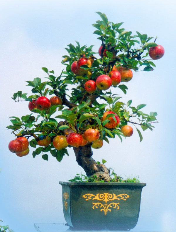 15 / package Apple tree seeds of home and garden planting, delicious ...