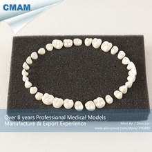 CMAM-DH408 Permanent Teeth Model With Straight Roots and Screw