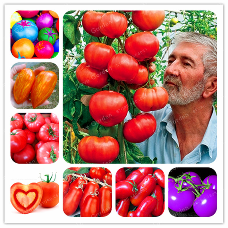 24kinds Nutritious Tomato bonsai Rare Huge tomato plant Bonsai Organic Vegetable fruit Potted plant for Home Gardens 50PCS