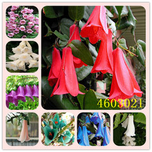 100 pcs / bag Rare Campanula Bonsai Imported Chile Rosea Plant Outdoor & Indoor Chilean Bellflower Garden Seedsfor Flower Pot