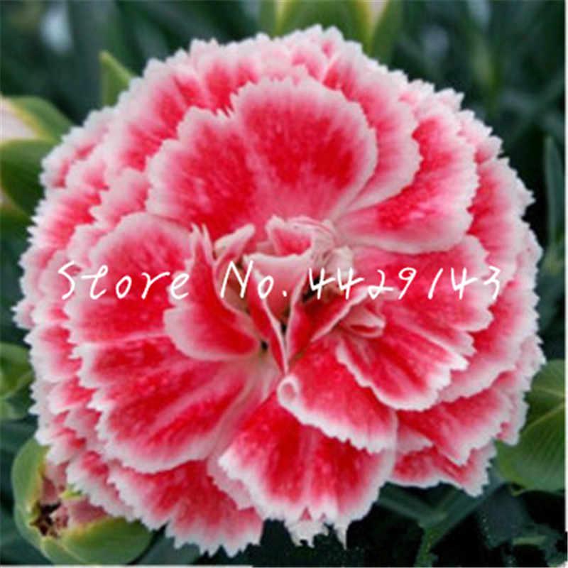100 Pcs Cravo Bonsai Dianthus Perene Flor Alta Taxa de Sobrevivência Mãe Flor Bonsai Para Casa Jardim Bonsai Flor Rara