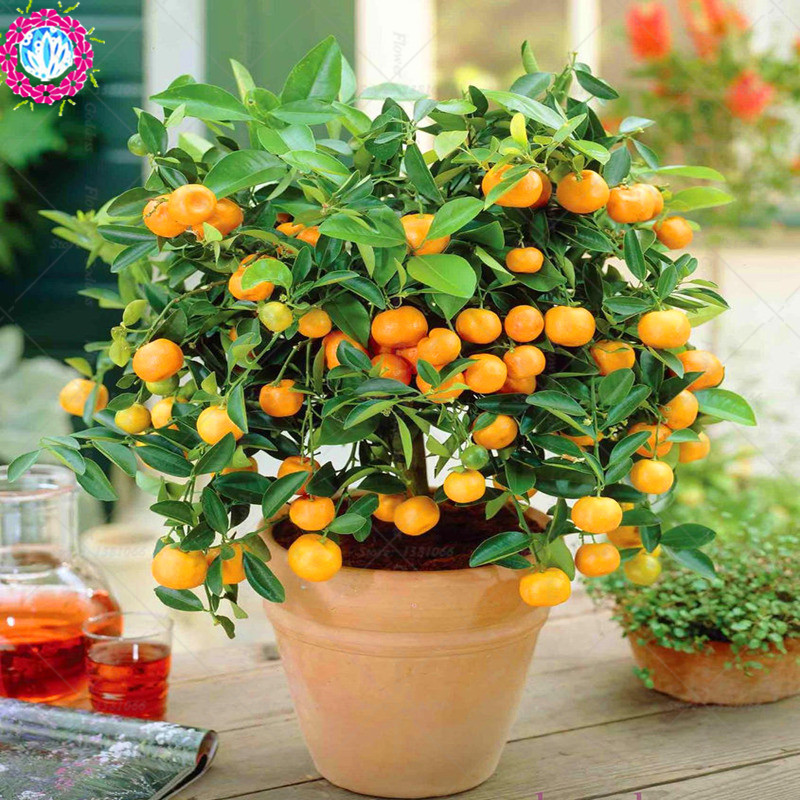 Fruit seeds Orange Tree Seeds DWARF WASHINGTON NAVEL Grow Indoors or Outdoors 40pcs