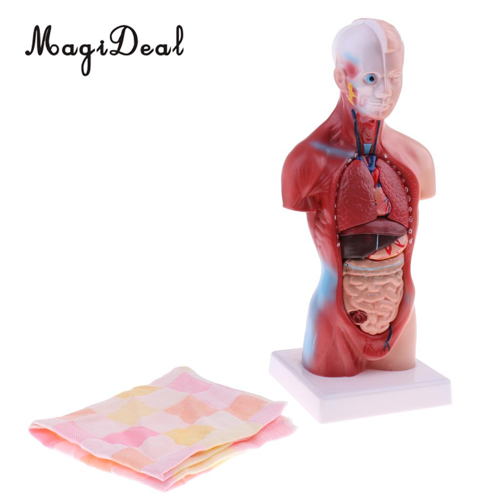 MagiDeal 1Pc 28cm PVC Human Torso Male Viscera Heart Brain Skeleton Anatomy Model for School Teaching Tool Medical Study Kit