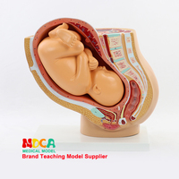 Maternal fetal development model, full term fetus, infant hospital, midwifery, pelvic cavity, family planning, medical teaching