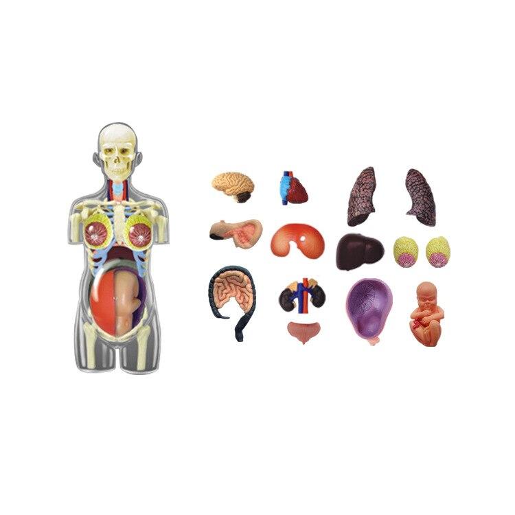 Educativo montado 4d humano Cuerpo esqueleto anatomía cráneo ...