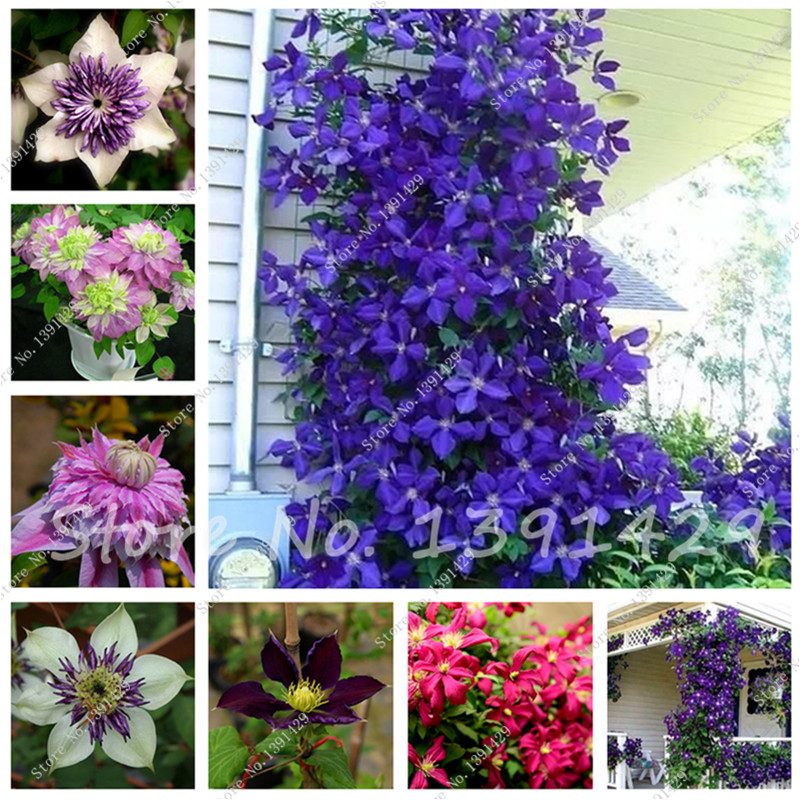 climbing clematis 100 100 pcs vine clematis seeds potted seed இ perennial perennial