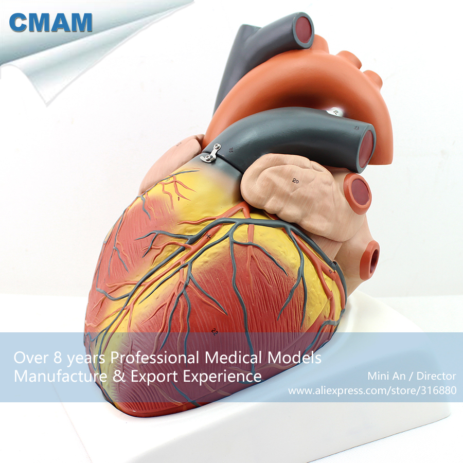 12487 CMAM HEART11 Magnified Human Heart Anatomy Model, Medical ...
