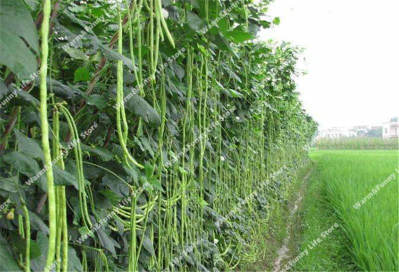 20 piezas largo de Vigna Unguiculata Bonsai-Podded caupí serpiente de vegetales Bonsai jardín Mini Long Bean bonsai