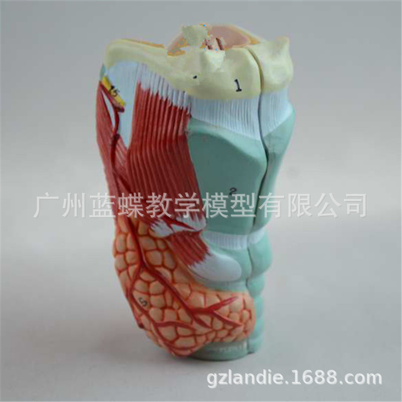 1:1 Life Size Human Throat Laryngeal Anatomical Model Medical Supplies