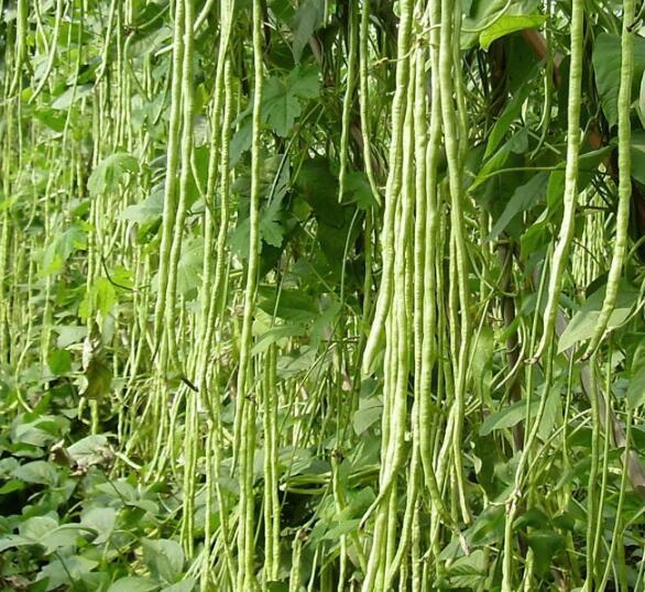 10PCS bonsai Chinese Long Bean Vigna Unguiculata plants Long Cowpea Snake Bean Organic Edible Vegetable plant Garden Plants