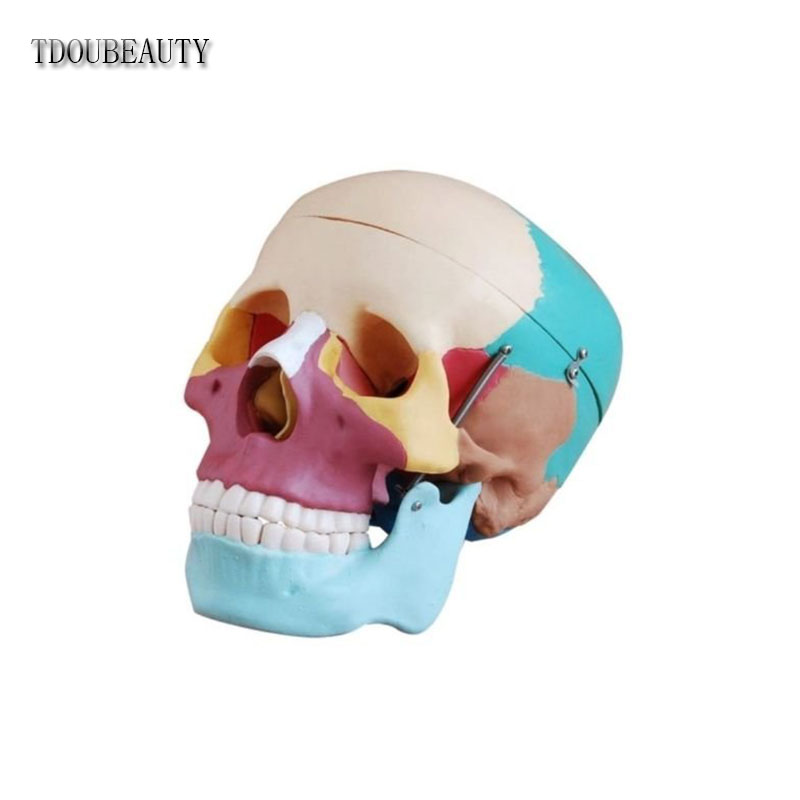 TDOUBEAUTY Esqueleto Anatomia Human Skull Anatomical Anatomy Skeleton Medical Model & Colored Bones Life Size mini skull human anatomical anatomy head medical model human anatomical skull model model of the medical skull painting model