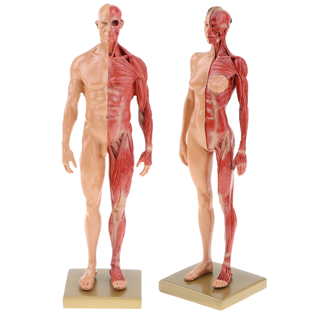 Buy Anatomy Figure And Get Free Shipping On Aliexpress