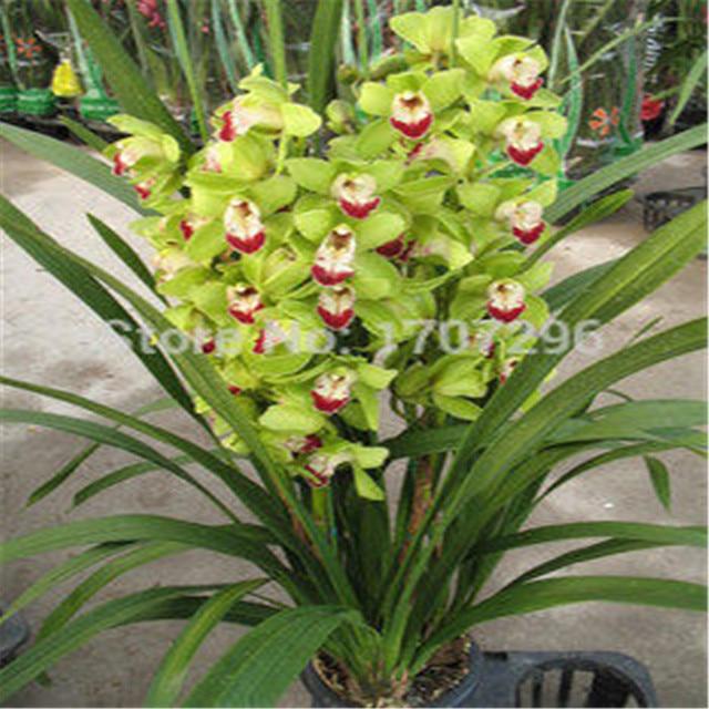 Perfect Cymbidium Fiore Semi Di Orchidea Cymbidium Semi Di Colore Misto 100 Pz/lotto