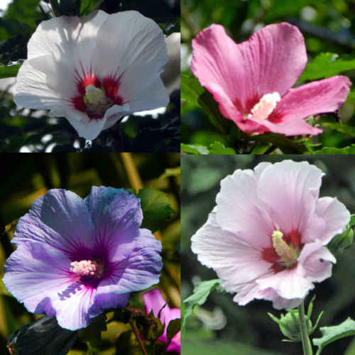 Detail Feedback Questions About 100 Pcs Hibiscus Syriacus Althaea