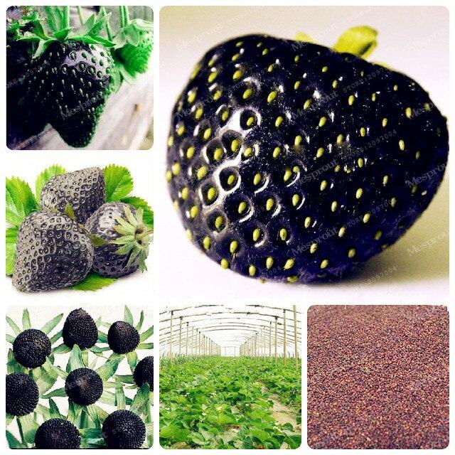 rare black erdbeere samen gesunde frischen exotischen seeds gute, Hause und Garten