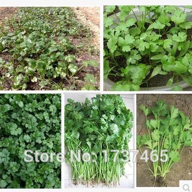 200 unids/lote cuatro estaciones perejil, Cilantro, perejil chino verduras bonsai planta hogar jardín envío gratis