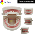 Dental lab Teeth Model, white teeth Denture show, odontologia dentist laboratory equipment, Model 02