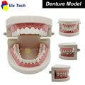 Laboratório Dental Modelo Dentes, Dentadura dentes brancos mostram, odontologia dentista equipamentos de laboratório, modelo 02