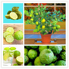 Key Lime Bonsai, Delicious Potted Organic Fruit plant,(Citrus Aurantifolia) , Fruit Lemon Tree For Home Garden -30Pcs/Bag(China)