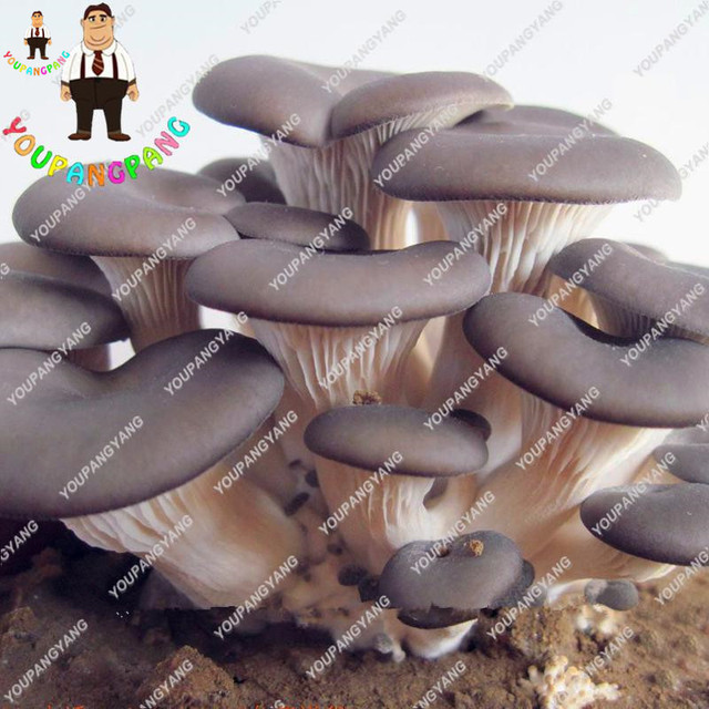 Hot Sale 100 pcs a variety of mixed edible mushrooms, pleurotus Delicious mushroom strains plants bonsai fruit vegetables garden