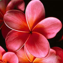 Multi-Color Plumeria Seeds, Frangipani Seeds, 50pcs/pack
