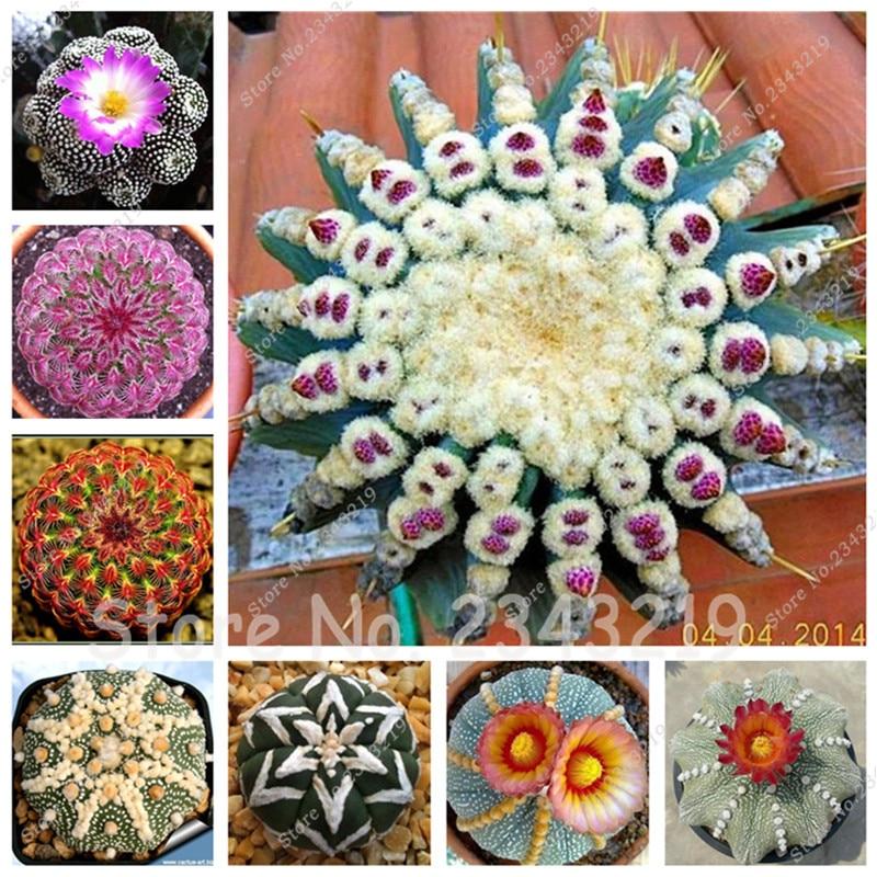 1bag=300 pcs Lithops Seeds Living Room Ornaments Flower Seeds Rare Succulent Plants DIY Balcony & Courtyard Planting