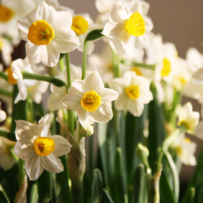 Hot sale beautiful white daffodils beautiful bonsai daffodil flower hot sale beautiful white daffodils beautiful bonsai daffodil flower seeds clean air narcissus seeds flowers for rooms 120pcs in bonsai from home garden on mightylinksfo