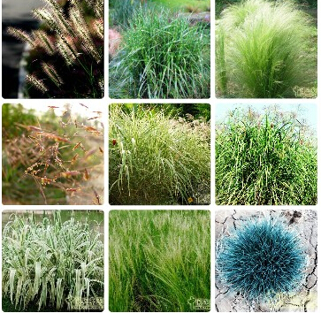 Bunny Tails Ornamental Grass Ornamental grasses seedsbunny tails lagurus ovatus 100 seeds ornamental grasses seedsbunny tails lagurus ovatus 100 seeds bonsai adorable ornamental grass workwithnaturefo