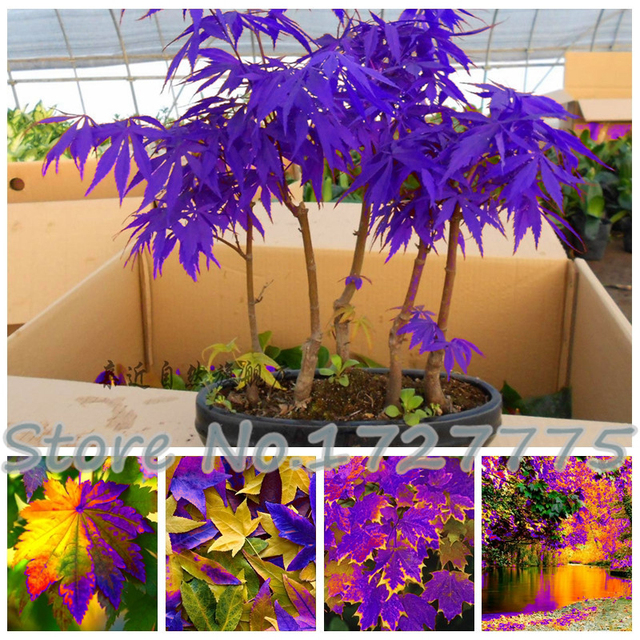 Potted Garden Rare blue maple seeds maple seeds bonsai tree plants potted garden rare blue maple seeds maple seeds bonsai tree plants potted garden japanese maple seeds 10 pieces workwithnaturefo