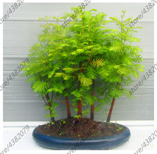100 Pcs Chinese Metasequoia Tree Dawn Redwood Forest Bonsai Hydroponics Potted Plant For Home Garden Easy To Grow