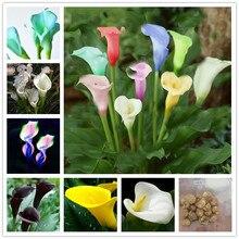 2 bulbs true calla lily bulbs,calla bulbs,(not calla lily seed),Elegant noble flower,zantedeschia aethiopica for home garden