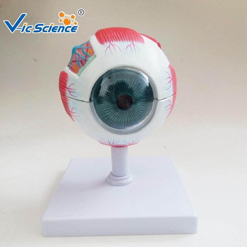 Medical  Education Advance Full Enlarge Eye Model  Anatomy Model