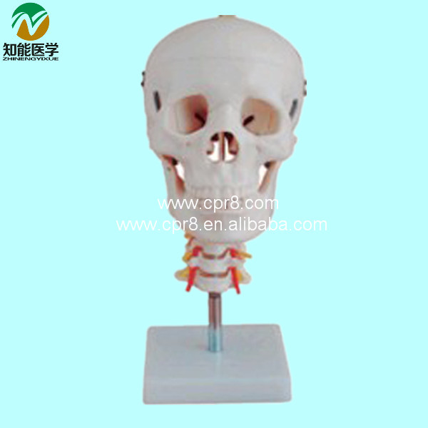 BIX-A1008 Plastic Skull Model With Cervical Vertebra  G060