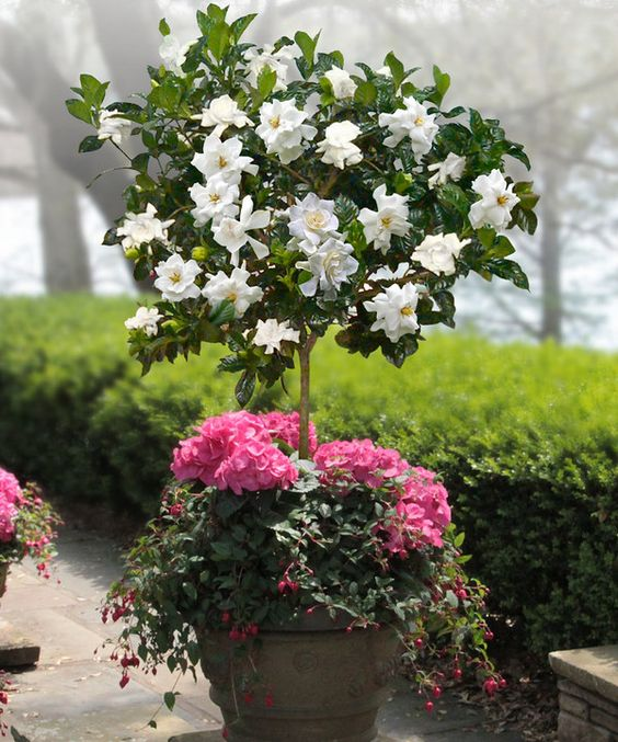 100pcs Bonsai Gardenia Jasminoides Flower Outdoor Fragrant Flowers White Cape Jasmine Blooming Flore For Home Pot Planters