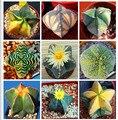 100 шт./пакет пятиконечная звезда мятой бонсай, радиационная защита сочные бонсай, импортный кактус бонсай растительный горшок для дома - фото