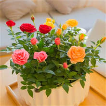 100 pcs Rare Holland Rainbow Rose Flower bonsai Home Garden plant 24 color rainbow Rose,rose flower seedlings