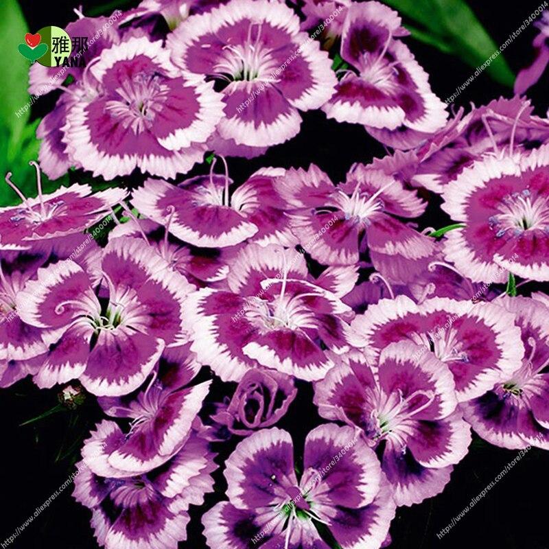 dianthus_purple_picotee