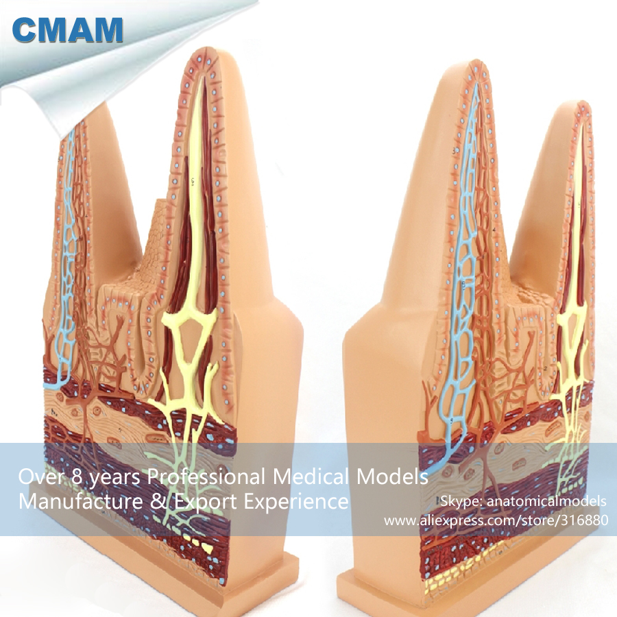 12556 CMAM-VISCERA17 Science Anatomy Human Small Intestinal Villi Model, Medical Science Educational Teaching Anatomical Models 12437 cmam urology10 hanging anatomy male female genitourinary system model medical science educational anatomical models