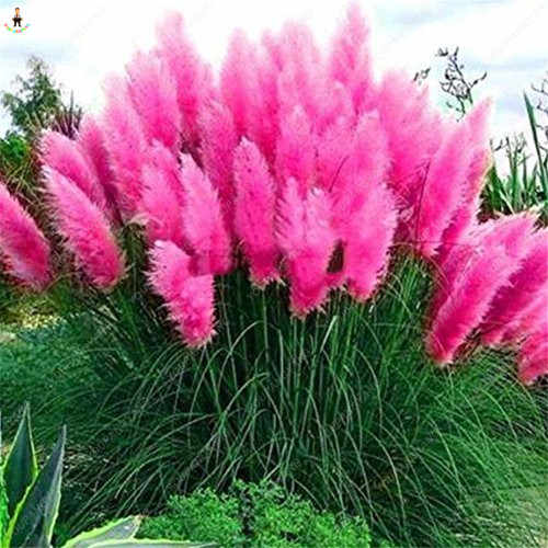 1000 قطع نادر بمب العشب زهرة بونساي للمنزل نباتات للحديقة Selloana حديقة الديكور