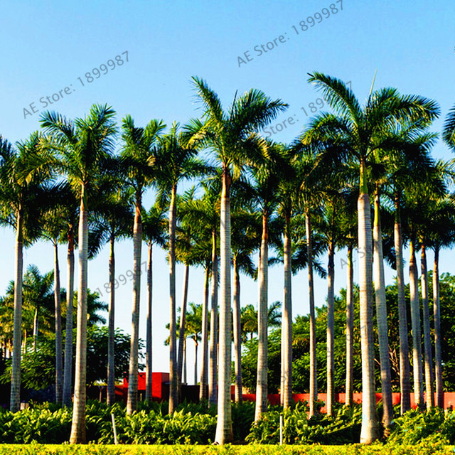 5pcsbag Royal Palm Flores Exotic Plants Tree Home Garden